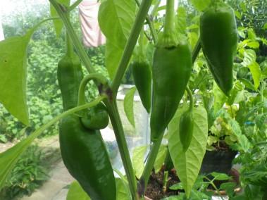 Corno di torro rosso peppers