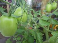 Czar tomatoes