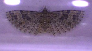 Many-plumed moth (c) Jon Sayer