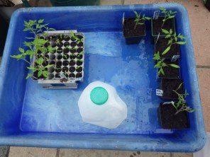 Tomatoes and a milk carton waterer