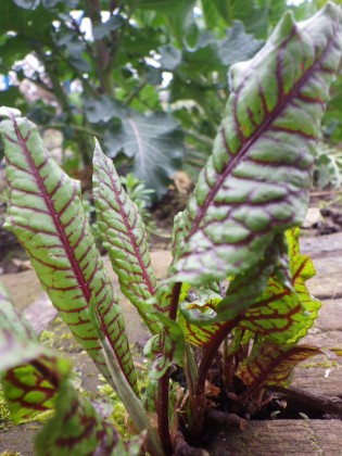 blood-veined sorrel