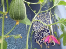Melon and passionflower